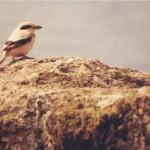 1993-Steppe Grey Shrike