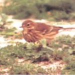 1997-Buff-bellied Pipit