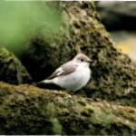 2001-Collared Flycatcher