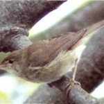 2003-Blyth's Reed Warbler
