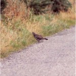2003-Oriental Turtle Dove