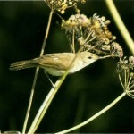 2004-Sykes-s Warbler