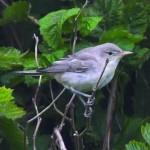 2008-Olive-tree Warbler