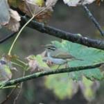 2010-Eastern Crowned Warbler